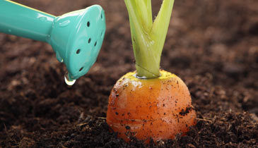 Carrots Grown In Nutrient Rich Topsoil