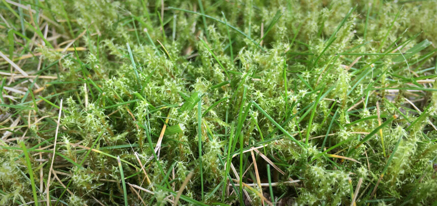Tackling Moss In Lawns