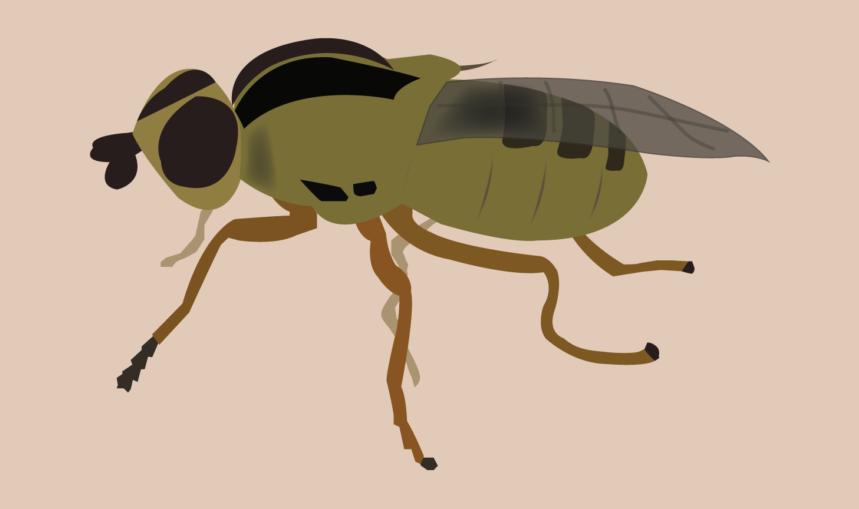 Large frit fly
